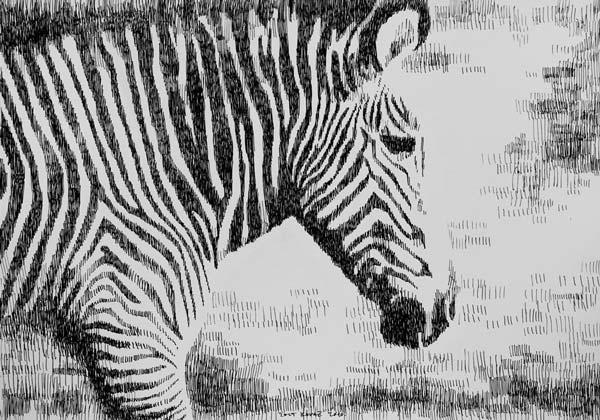 Zebra, 2010, rapidograf na papiru, 35x50cm